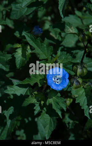 Nicandra physalodes, shoo-fly plant, - Stock Photo