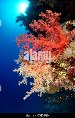 Coral reef, different coloured Klunzinger's Soft Coral (Dendronephthya klunzingeri), red, red, Red Sea, Egypt - Stock Photo