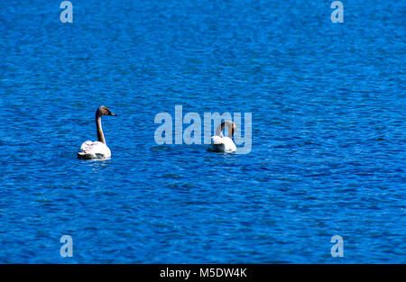 Tundra Swan, Cygnus columbianus, Anatidae, Swan, juvenile, bird, animal, Waterton Lakes National Park, Alberta, - Stock Photo