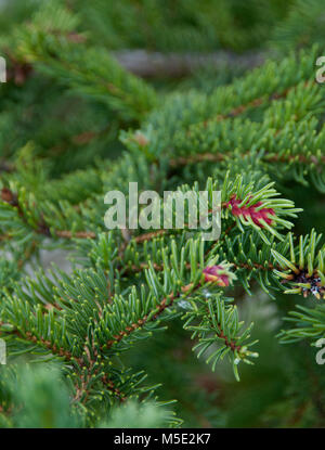 Conifer branch,  Picea abies,  Norway Spruce 'Acrocona', Acrocona Norway Spruce, Red Cone - Stock Photo