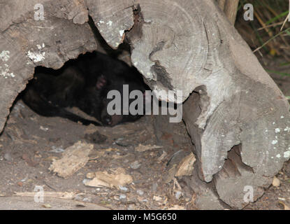 Tasmanian devil, Sarcophilus harrisii,  Lone Pine Koala Sanctuary, Brisbane, Australia - Stock Photo
