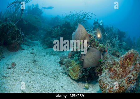 Scuba diver discovers Gray Angelfishes (Pomacanthus arcuatus), Utila island, Bay islands, Honduras, Caribbean - Stock Photo
