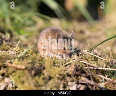 Wood mouse (Apodemus sylvaticus) in a garden,winter,2018, UK - Stock Photo