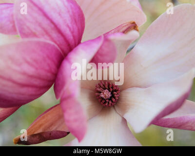 Macro view of a pink magnolia flower - Stock Photo