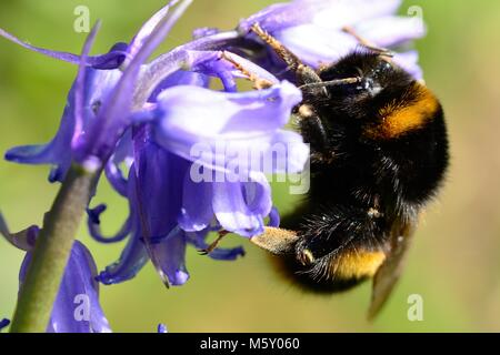 Macro shot of a bumble bee pollinating a bluebell flower - Stock Photo