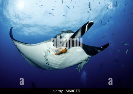 Giant Manta Ray at Cleaning Station, Manta birostris, San Benedicto Island, Revillagigedo Islands, Mexico - Stock Photo