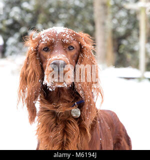Irish Setter / Red Setter In a Snow Covered Home Garden - Stock Photo