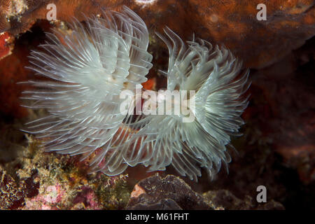 Magnificent Feather Duster Worm (Protula magnifica) near Panglao Island, Philippines - Stock Photo