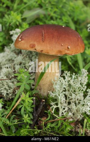 Mushroom boletus on moss in september in forest - Stock Photo