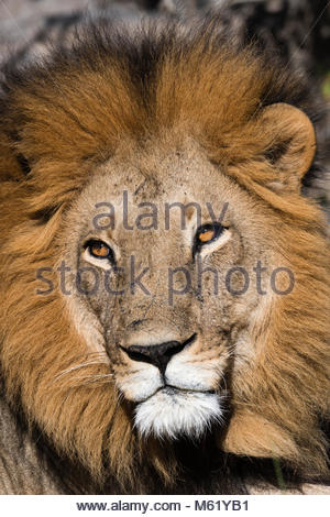 Close up portrit of a male lion, Panthera leo. - Stock Photo