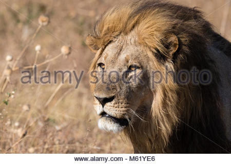 Portrait of an adult dominant male lion, Panthera leo of the Marsh Pride. - Stock Photo
