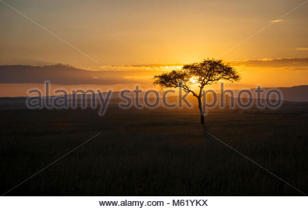 A lone acacia tree stands silhouetted on Masai Mara National Reserve at sunset. - Stock Photo