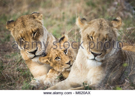 A Lion cub, Panthera leo, resting between two females. - Stock Photo