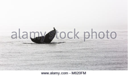A Humpback whale, Megaptera novaeangliae, embarks on a deep dive. - Stock Photo