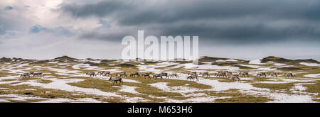 Herd of Reindeer grazing, South Coast, Iceland - Stock Photo