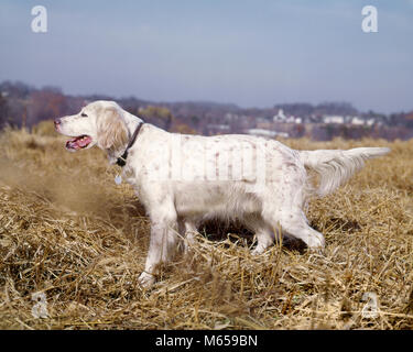 WHITE WITH ORANGE FLECKS ENGLISH SETTER HUNTING DOG ON POINT - kd1535 HAR001 HARS BELTON BIRD DOG FEATHERING GUN - Stock Photo