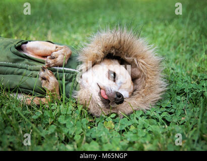 cute chihuahua lying in green grass with clover wearing a fur like jacket hoodie - Stock Photo