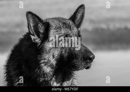my dear friend Odin, a spectacular German shepherd dog, enjoying the beach in winter, with bath in the sea The German - Stock Photo