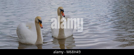 White swans - Stock Photo