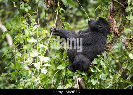 Baby mountain gorilla sitting in a tree and eating liana in the Bwindi Impenetrable National Park in Uganda - Stock Photo