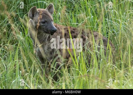 Spotted hyena (Crocuta crocuta), aka the laughing hyena, Queen Elizabeth National Park, Uganda, Africa - Stock Photo