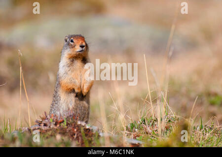 Ground squirrel in Larch Valley, Banff National Park, Alberta, Canada - Stock Photo