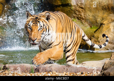 Malayan Tiger splashing and exiting pool with waterfall in background - Stock Photo