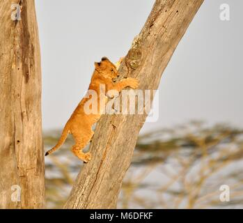 A lion cub (Panthera leo) climbing down from a tree within the Serengeti national park, Tanzania - Stock Photo