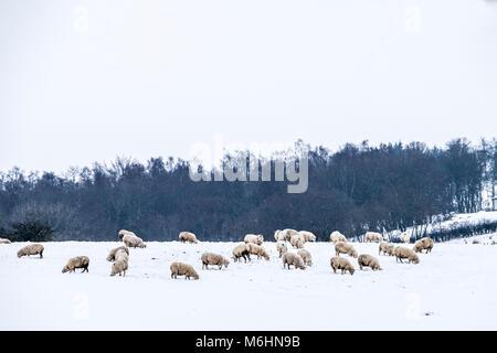 Sheep in wintery field - Stock Photo