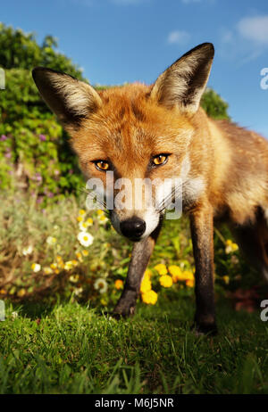 Close up of a Red fox standing in the garden with flowers, summer in UK. - Stock Photo