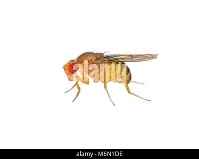 Drosophila Fruit Fly Insect Isolated on White Macro - Stock Photo