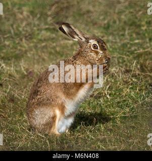 European Brown Hare,  Lepus europaeus, washing its face, Lancashire, UK - Stock Photo