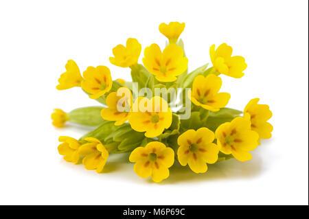 Primrose flowers  isolated on white background. Primula veris. - Stock Photo