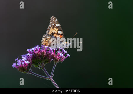 A Painted Lady butterfly (Vanessa cardui) on a Verbena flower. - Stock Photo