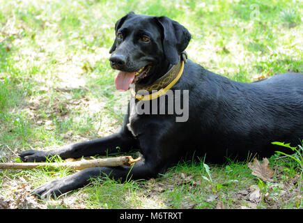 Black dog playing with a stick in the springtime - Stock Photo