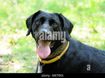 Portrait of a dog in yellow anti flea dog collar - Stock Photo