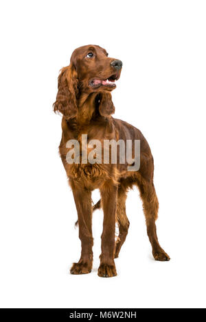 Four month old Irish Red Setter standing - Stock Photo