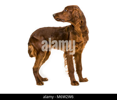 Four month old Irish Red Setter standing looking behind - Stock Photo