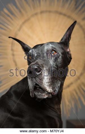 Studio Portrait of Senior Great Dane with Grey Muzzle in Three-Quarter Pose Against Starburst Background - Stock Photo