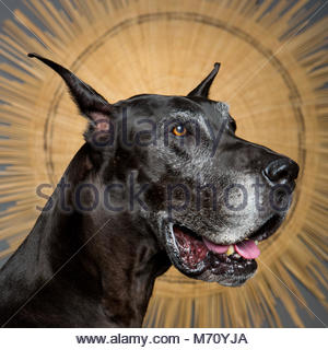 Close-up studio photo of senior black Great Dane in profile against star-shaped background - Stock Photo