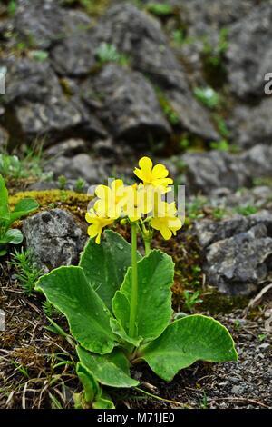 Primula auricula or mountain cowslip  on Schneeberg in Austria - Stock Photo