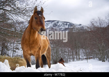 Horse in the snow at Santo Stefano d'Aveto - Liguria - Italy - Stock Photo