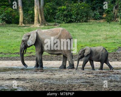 African forest elephant (Loxodonta cyclotis) with baby , Dzanga Bai, UNESCO, Dzanga-Sangha Special Reserve, Central - Stock Photo