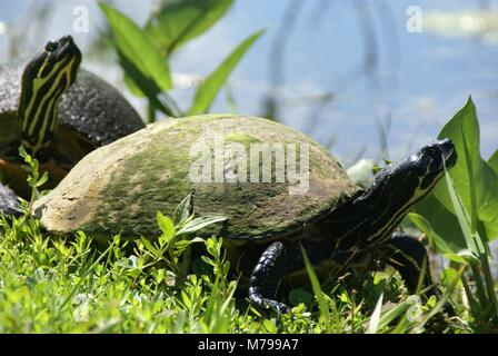 Florida red-bellied cooter or Florida redbelly turtle in everglades florida US - Stock Photo