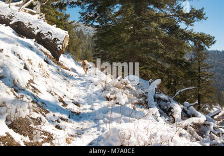 A red hunting dog running along the snow covered Kitchen Gulch Trail on Babcock Mountain, in Missoula County, Montana. - Stock Photo