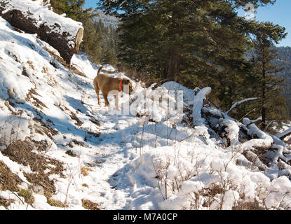 A red dog hunting along the snow covered Kitchen Gulch Trail on Babcock Mountain, in Missoula County, Montana. - Stock Photo