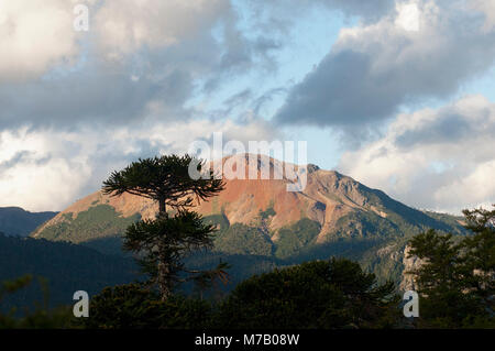 Pehuen trees in a forest, Patagonia, Argentina - Stock Photo