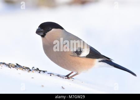 Eurasian (common) bullfinch (Pyrrhula pyrrhula) gathers sunflower seeds (sitting in the snow, very close). - Stock Photo