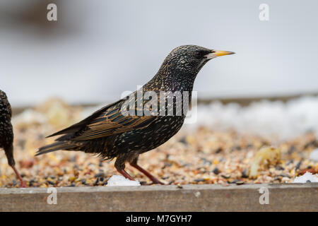 Starling. Sturnus vulgaris. Single adult in winter plumage on bird table. British Isles - Stock Photo