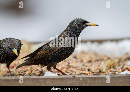 Starling. Sturnus vulgaris. Two adults in winter plumage on bird table. British Isles - Stock Photo